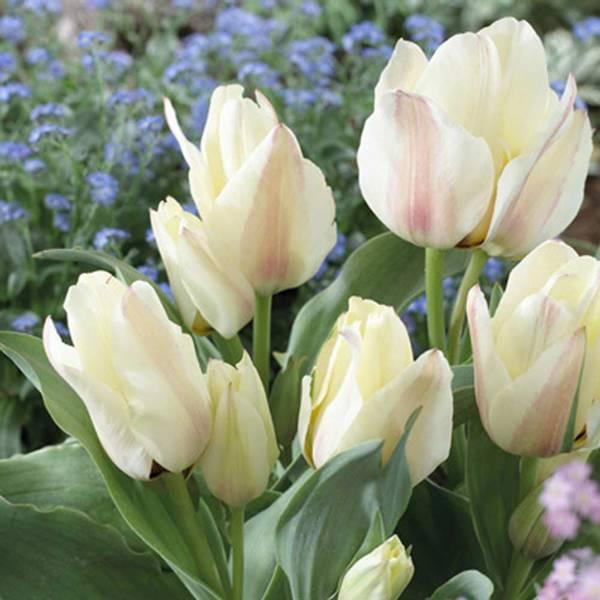 Bilde av NYHET! Tulipan Albion Star - 8 stk. blomsterløk