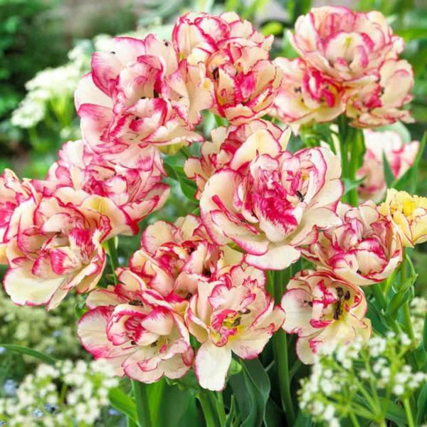 Bilde av Tulipan Belicia  - 6 stk. blomsterløk