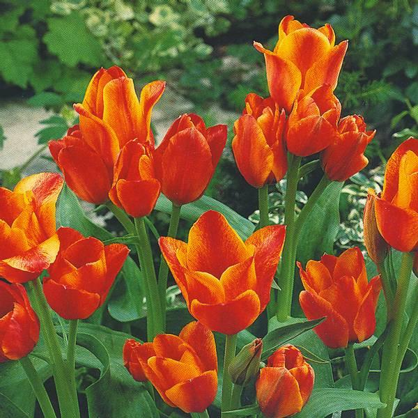 Bilde av Tulipan Compostella  - 8 stk. blomsterløk