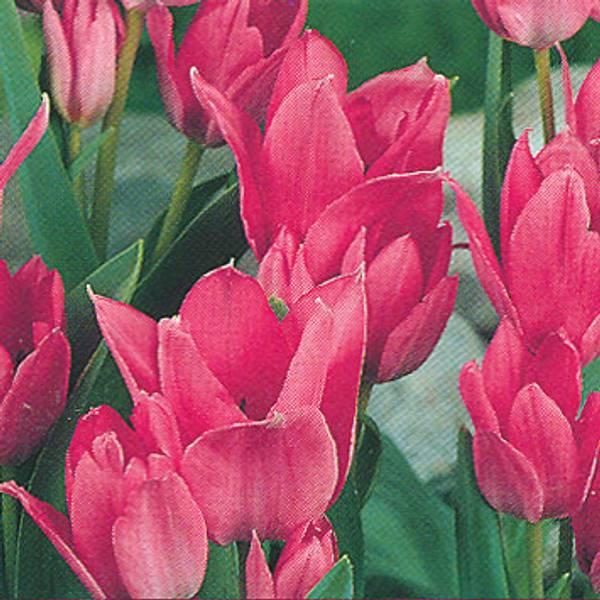 Bilde av Tulipan Toronto - 10 stk. blomsterløk