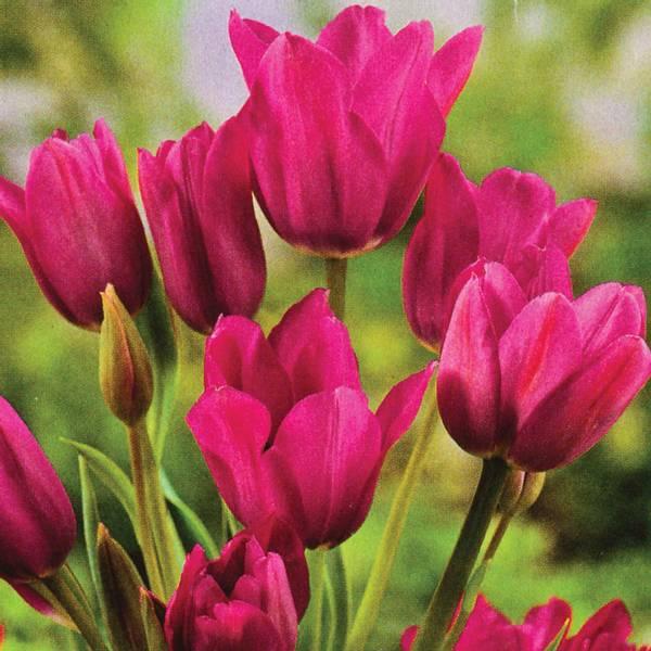 Bilde av Tulipan Night Club - 6 stk. blomsterløk