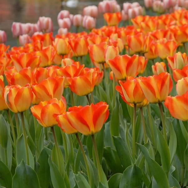 Bilde av NYHET! *Tulipan American Dream  - 90 stk.