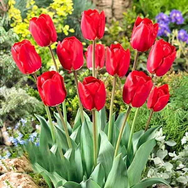 Bilde av NYHET! Tulipan Fostery King - 10 stk. blomsterløk