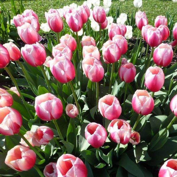 Bilde av NYHET! Tulipan Russian Rrincess - 8 stk.