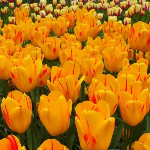 Bilde av NYHET! *Tulipan Olympic Flame  - 10 stk.