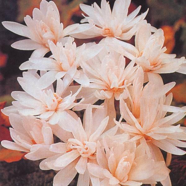 Bilde av Colchicum autumnale Alboplenum - 1 stk.