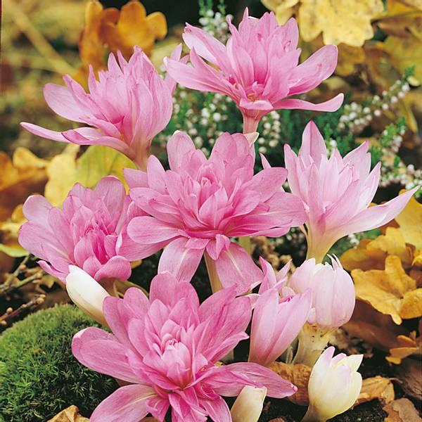 Bilde av Colchicum roseum Pleinum* - 1 stk. blomsterløk
