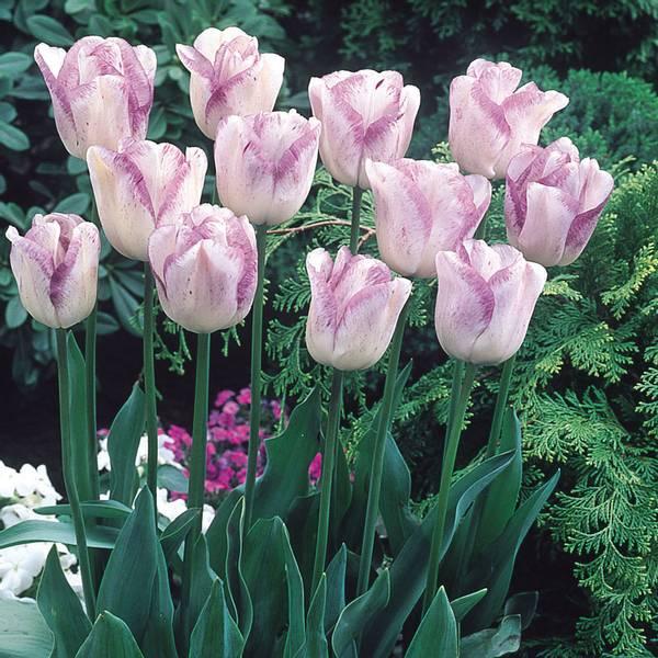 Bilde av NYHET! Tulipan Shirley  - 8 stk. blomsterløk