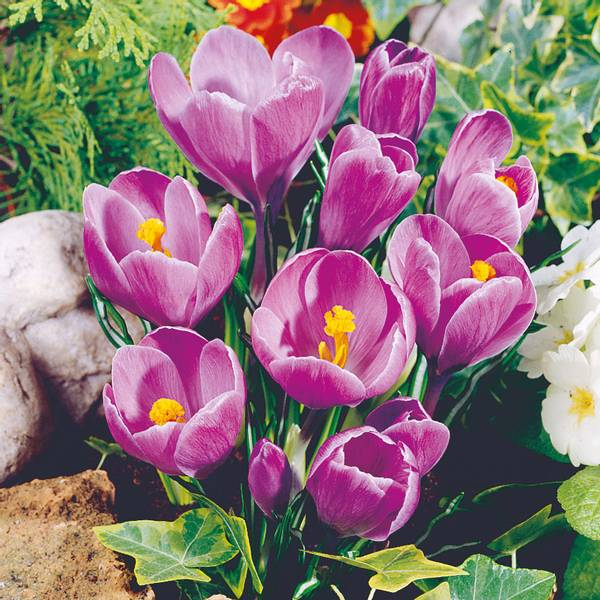 Bilde av Crocus Grand Maitre*  - 10 stk. blomsterløk
