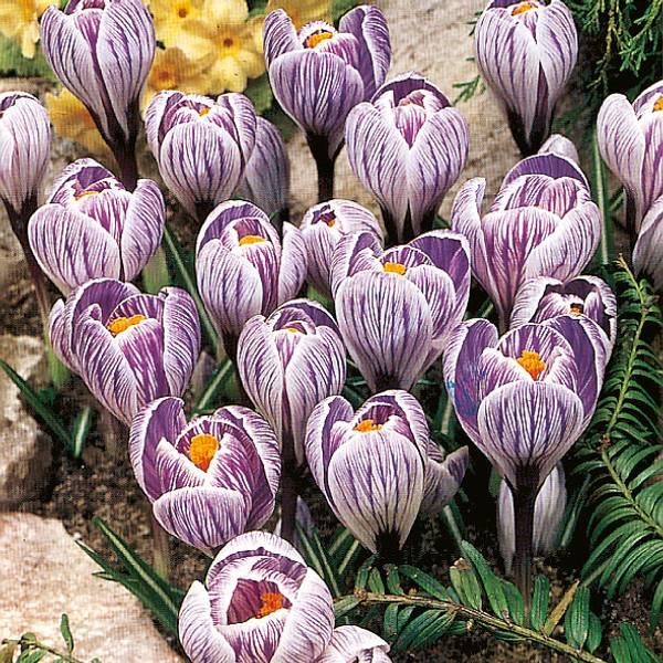 Bilde av Crocus Pickwick * - 12 stk. blomsterløk