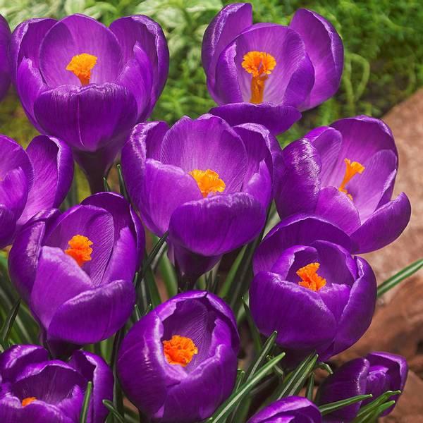 Bilde av Crocus Flower Record* - 12 stk. blomsterløk