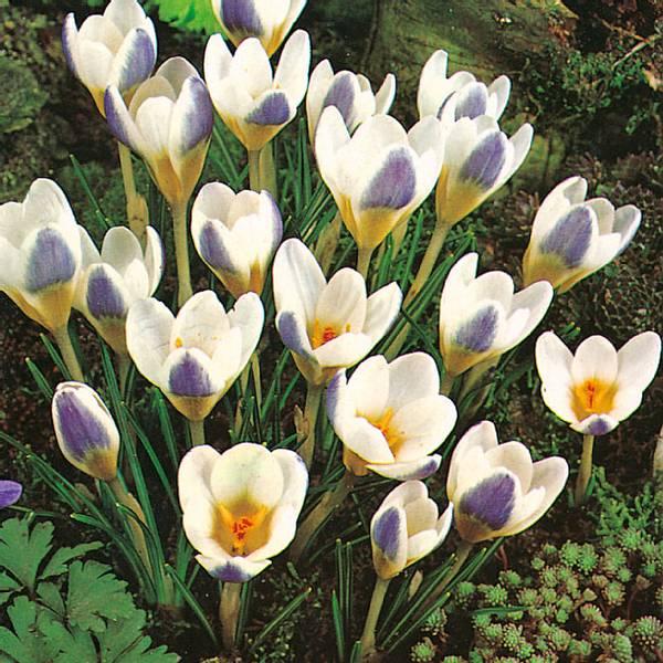 Bilde av Crocus Blue Bird - 10 stk. blomsterløk
