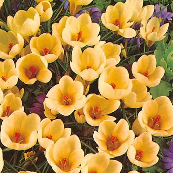 Bilde av Crocus Cream Beauty - 25 stk. blomsterløk