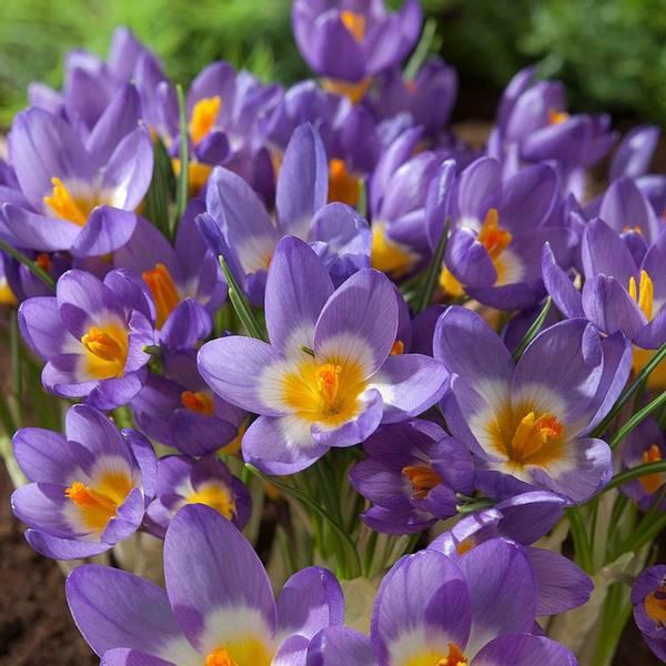 Bilde av Crocus Sieberi Tricolor - 25 stk. blomsterløk