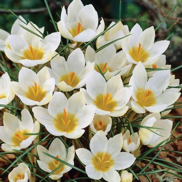 Bilde av Crocus Snowbunting - 15 stk. blomsterløk