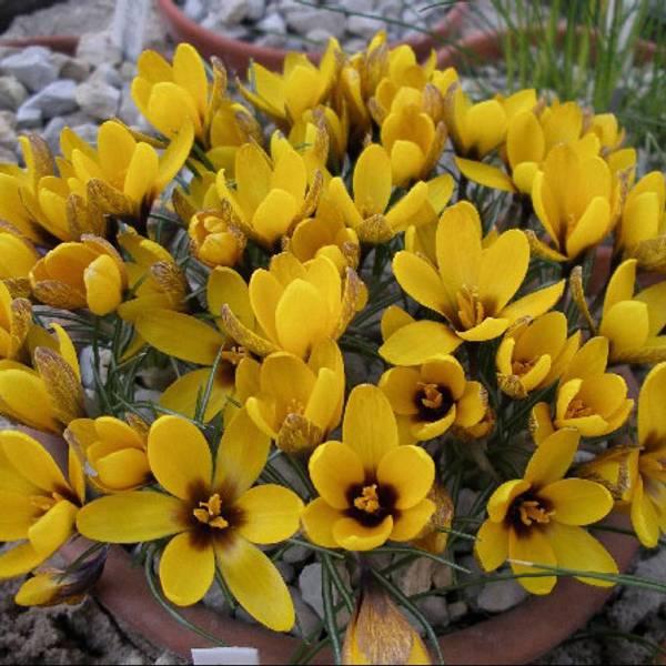 Bilde av Crocus Korolkowii - 15 stk. blomsterløk