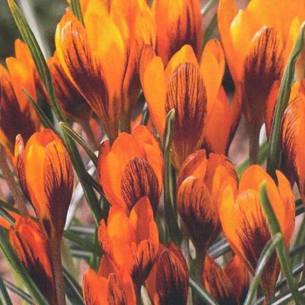 Bilde av Crocus Orange Monarch - 15 stk. blomsterløk