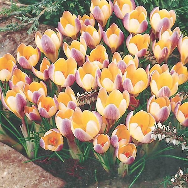 Bilde av Crocus Advance - 15 stk. blomsterløk