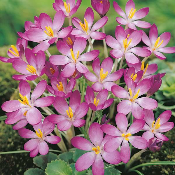 Bilde av Crocus Whitewell Purple - 15 stk. blomsterløk