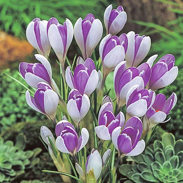 Bilde av Crocus Vanguard* - 12 stk. blomsterløk