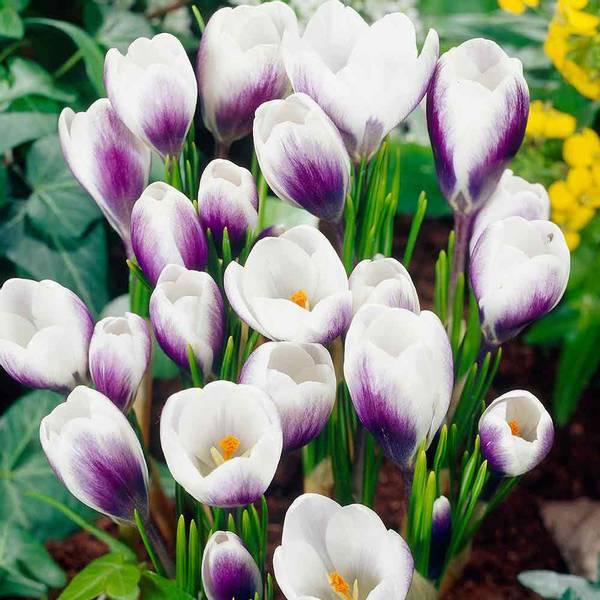 Bilde av Crocus prins Claus  - 15 stk. blomsterløk