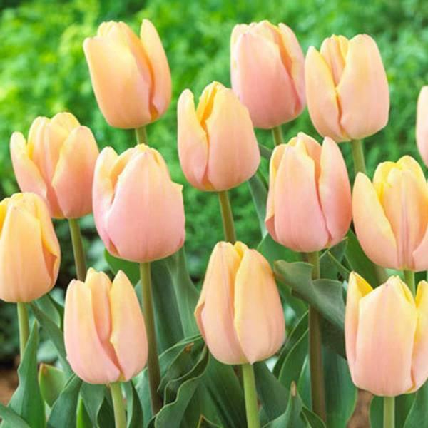 Bilde av NYHET! Tulipan Mango Charm  - 8 stk. blomsterløk