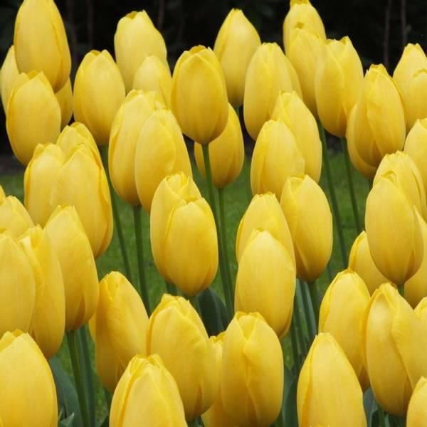 Bilde av Tulipan Big Smile - 8 stk. blomsterløk