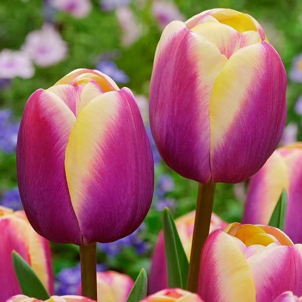 Bilde av Tulipan Atlantis  - 10 stk. blomsterløk
