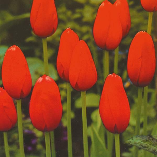 Bilde av Tulipan Kingsblood - 10 stk. blomsterløk