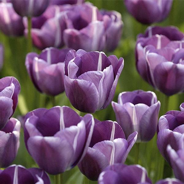Bilde av NYHET! Tulipan Andre Rieu - 8 stk. blomsterløk