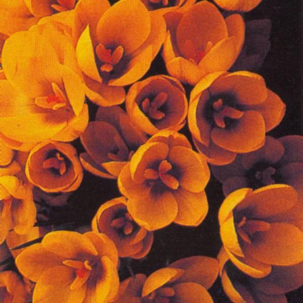Bilde av Crocus Goldilocks - 15 stk. blomsterløk