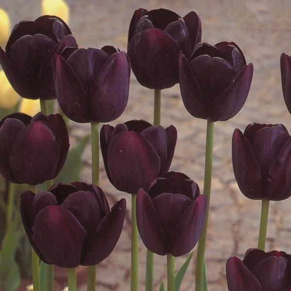Bilde av Tulipan Queen of Night* - 10 stk. blomsterløk