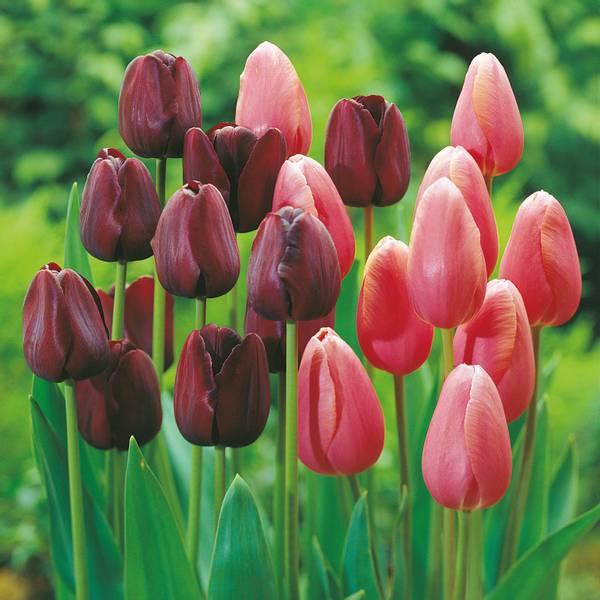 Bilde av Kjempetilbud! *Tulipaner i sort og rosa - 60 stk.