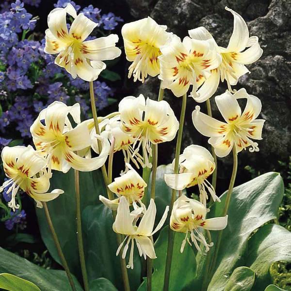 Bilde av Erythronium 'White Beauty' - 3 stk. blomsterløk