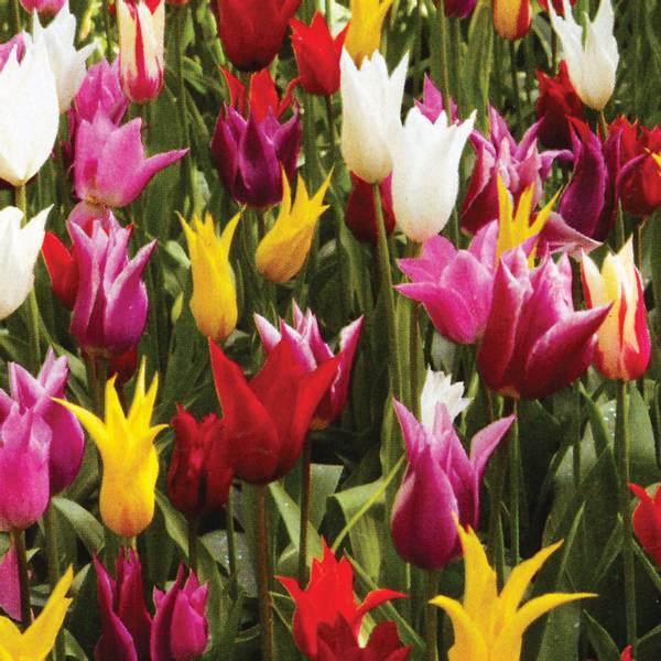 Bilde av Liljeblomstrende tulipaner - 25 stk. blomsterløk