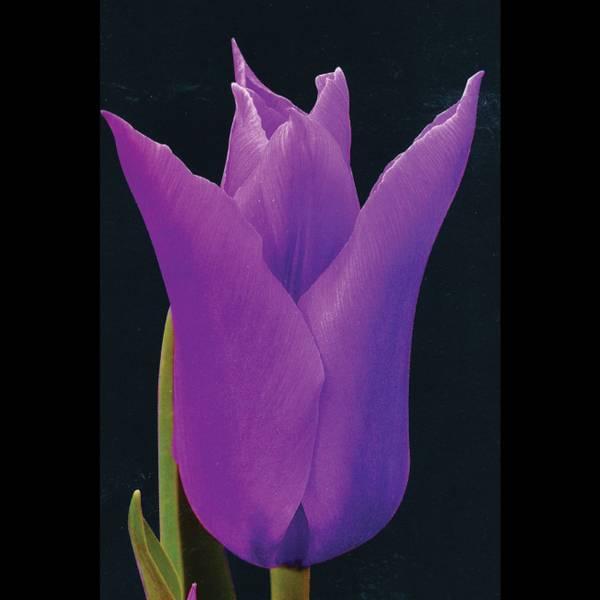 Bilde av Tulipan Burgundy - 8 stk. blomsterløk
