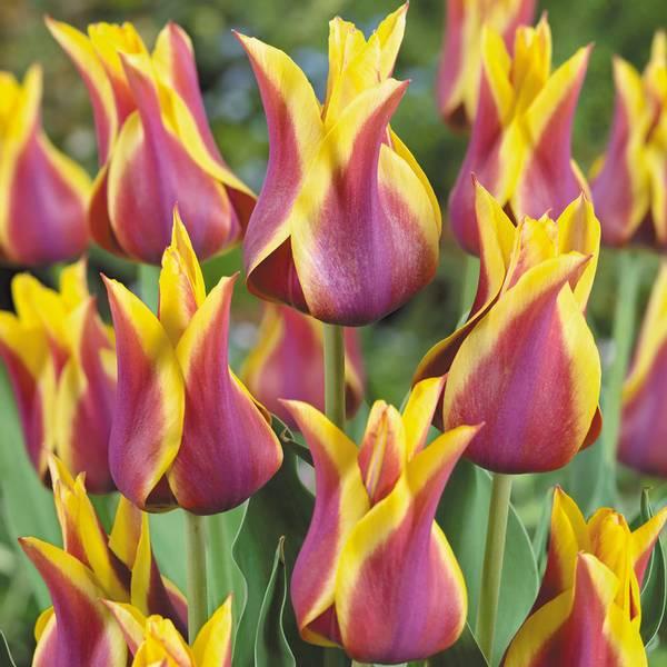 Bilde av NYHET! Tulipan Sonnet - 6 stk. blomsterløk