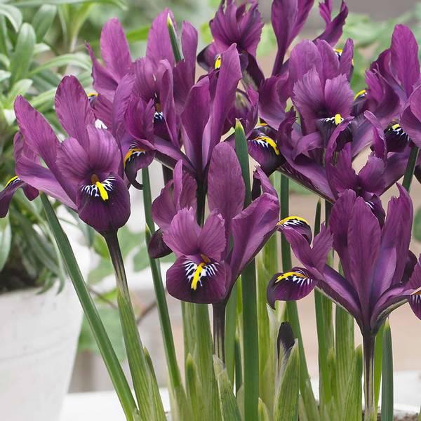Bilde av NYHET! *Iris reticulata J.S. Dijt