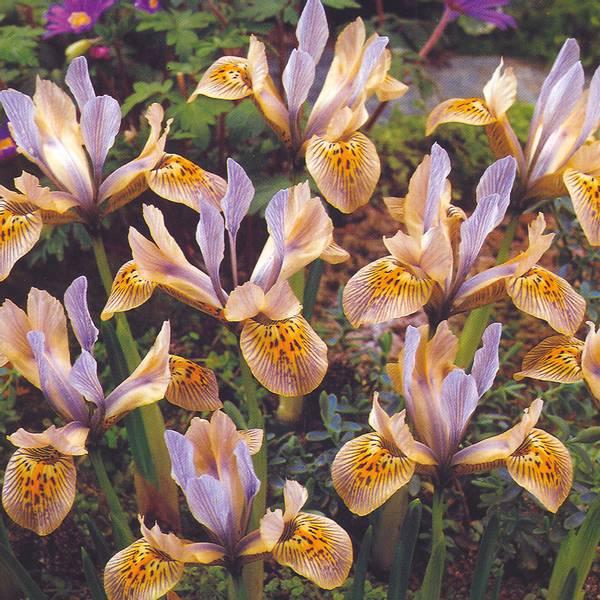 Bilde av Iris Katharine Hodgkin* - 10 stk. blomsterløk