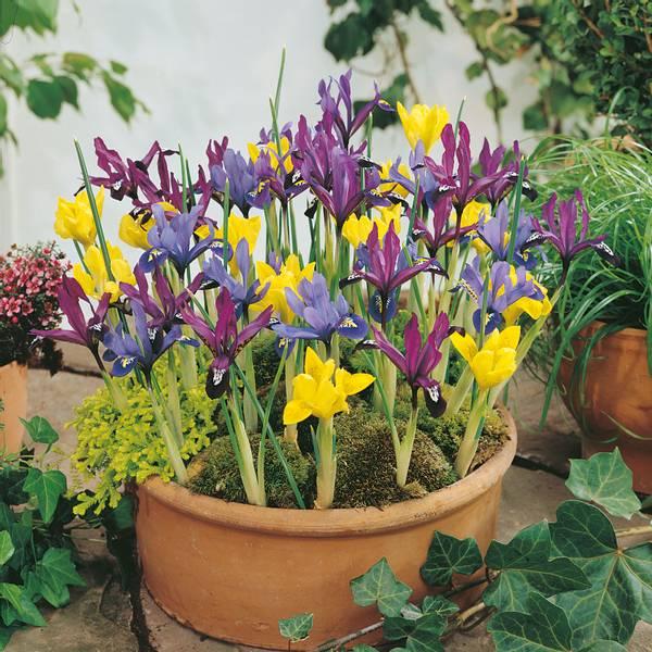 Bilde av Iris reticulata Mixed - 25 stk. blomsterløk