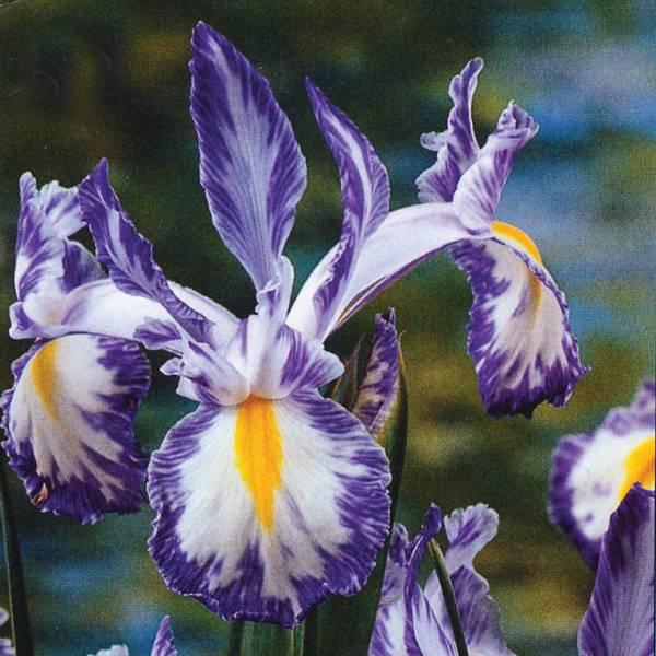 Bilde av Iris Hollandica Del Blue - 10 stk. blomsterløk