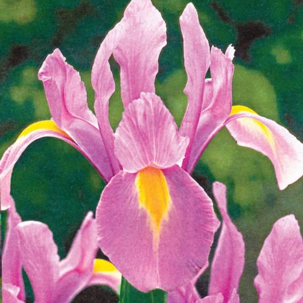 Bilde av Iris Hollandica Rosario  - 10 stk. blomsterløk