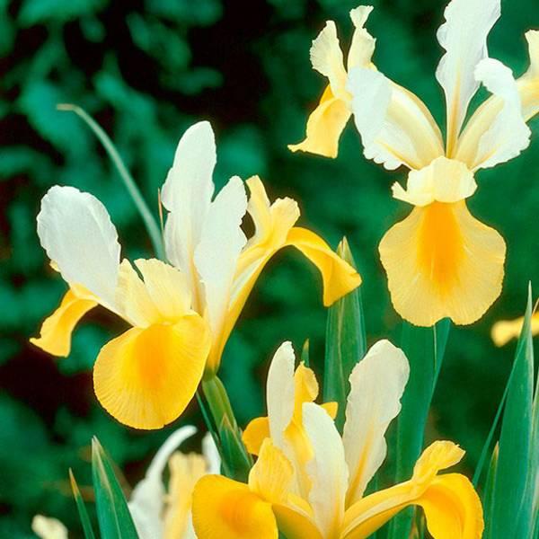 Bilde av Iris Hollandica Montecito - 10 stk. blomsterløk