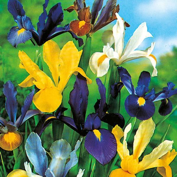 Bilde av Iris Hollandica i blanding - 25 stk. blomsterløk