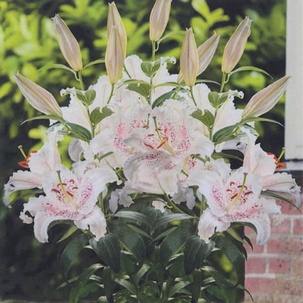 Bilde av Lilje Muscadet* - 3 stk. blomsterløk