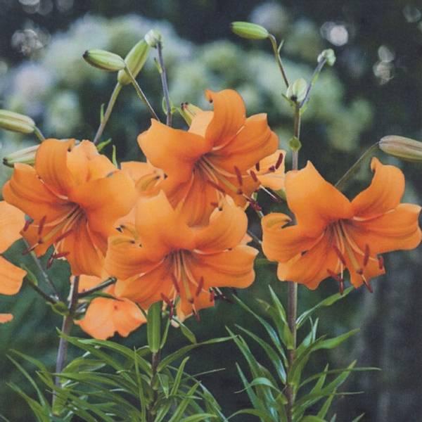 Bilde av Lilje Pearl Stacey - 3 stk. blomsterløk