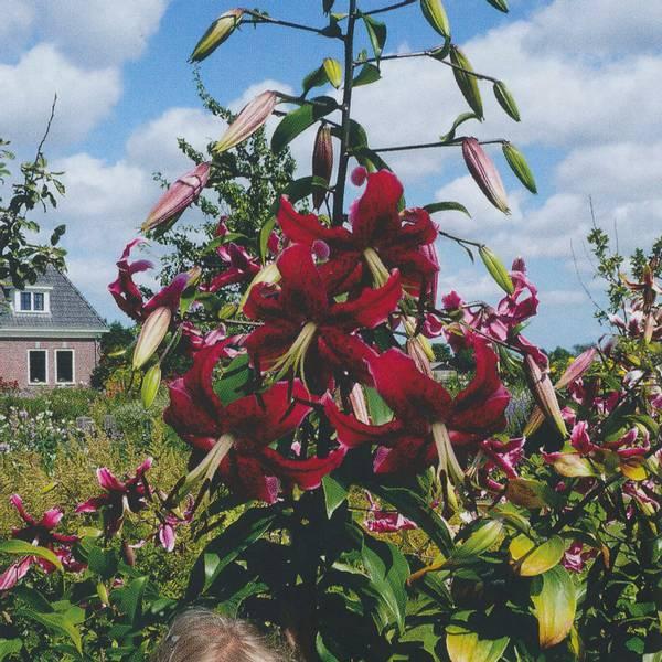 Bilde av Lilje Miss Feya - 3 stk. blomsterløk