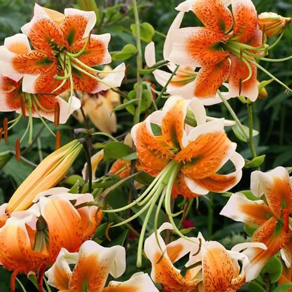 Bilde av Lilje Lady Alice - 3 stk. blomsterløk