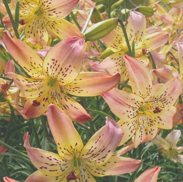 Bilde av Lilje Corsage - 3 stk. blomsterløk