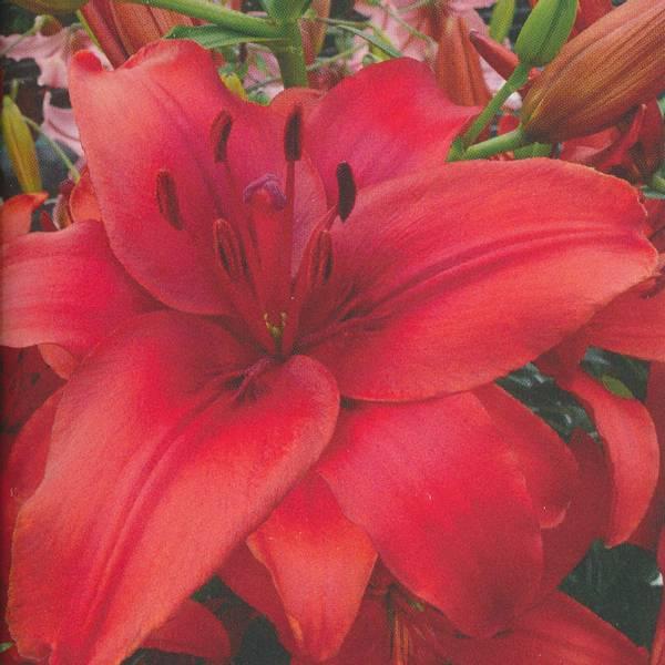 Bilde av Lilje Red Highland - 3 stk. blomsterløk